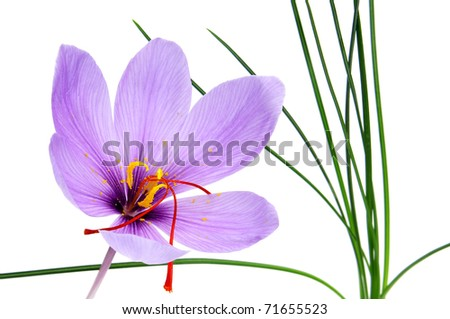a saffron flower isolated on a white background
