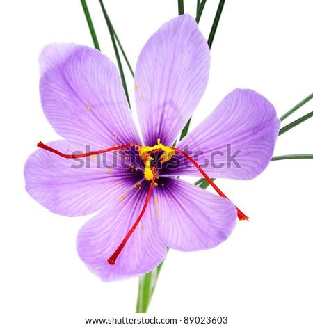 a saffron flower on a white background