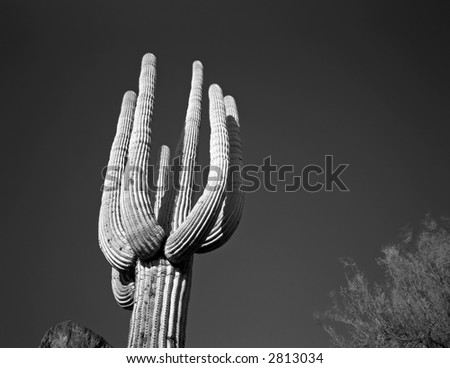 A Saguaro Cactus in Saguaro Cactus National Monument, Arizona.