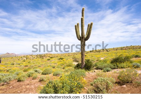 A sagurao cactus in an Arizona desert is surrounded by yellow wildflowers.