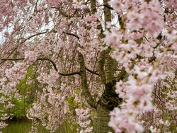 A Sakura cherry blossom tree in full bloom in the spring in the North Park in Allegheny County near Pittsburgh, PA.  Beautiful pink flower blooms hanging from the gorgeous tree in nature.