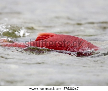 A salmon swims upstream to spawn on the Katmai Preserve, Kenai peninsula, Alaska