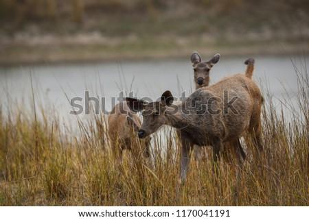 A sambar deer in kanha meadows #1170041191