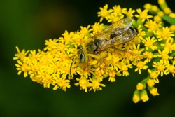 A Sand-loving Wasp is collecting nectar from a yellow Goldenrod flower. Taylor Creek Park, Toronto, Ontario, Canada.