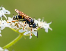 A sand wasp (Gorytes quadrifasciatus) seen on angelica in August