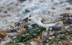 A Sanderling, Calidris alba, is feeding at the edge of the sea as the tide comes back in.
