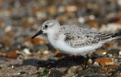 A Sanderling, Calidris alba, is feeding at the edge of the sea in the UK.