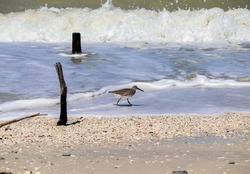 A sanderling hunting for food in the waves in Naples, Florida.