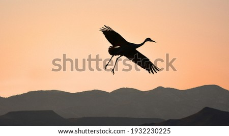 a sandhill crane coming in for landing in a corn field at sunset with a mountain backdrop at the bosque del apache national wildlife refuge  near socorro, new mexico Foto stock ©