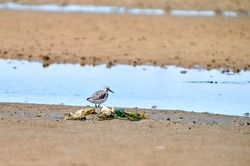 A sandpiper bird stands behind a pile of trash on the beach