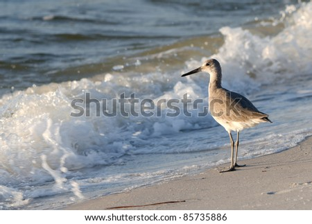 A Sandpiper on the Gulf Coast.