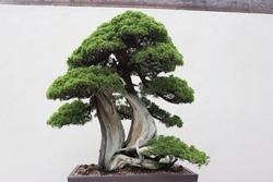 A sargent juniper bonsai tree.