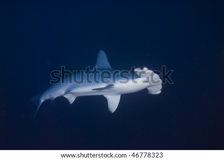 A Scalloped Hammerhead shark (Sphyrna lewini), endangered, in deep water. Jackson Reef, Red Sea, Egypt. #46778323