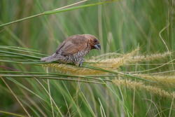A scaly-breasted munia feeding on grass flowers