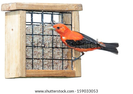 A scarlet tanager eating at a suet feeder. This elusive songbird flamboyantly exhibits its vivid and brilliant reddish orange plumage. white background