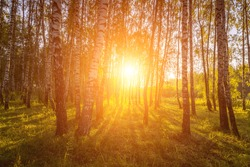 A scene of sunrise in a birch forest on a sunny summer morning with fog. Landscape.
