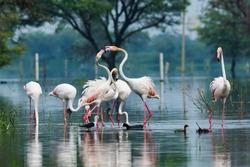 A scenery by flamingos, Keoladeo National Park, Bharatpur