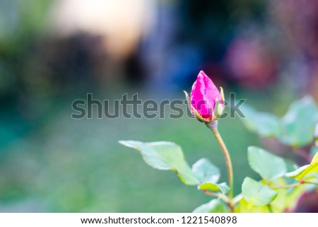 A scenic pink rose bud, that is closed now and did not open yet. Selective focus ストックフォト ©
