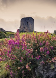 A scenic view of the ruins of Dolbadarn Castle with beautiful heather flowers in the foreground