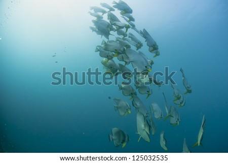 A school of bat fish underwater in Maldives