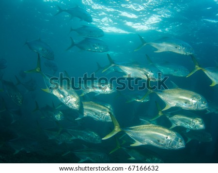 A school of Crevalle Jacks-Caranx hippos, picture taken under the Blue Heron Bridge in the intercoastal waterway of Palm Beach County, Florida.