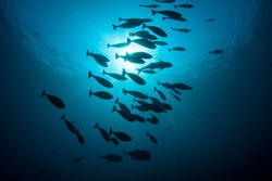 A school of fish swims through deep water in the tropical western Pacific.