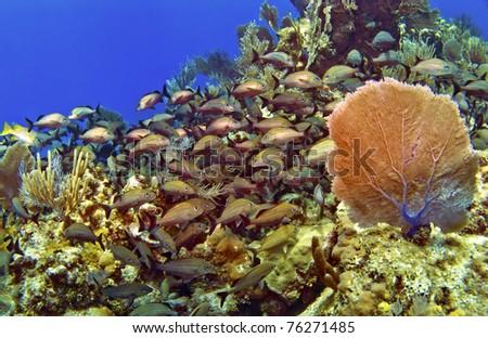 A school of French Grunts and  a Sea Fan in Cayman Brac