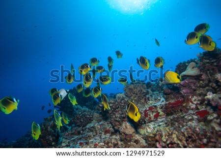 A school of raccoon butterfly fish swim in blue tropical water in this ocean underwater scene #1294971529
