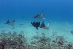 A school of Spotted Eagle Rays (not stingrays) off the coast of Hawaii.