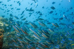 A school of striated fusilier fish in the sea