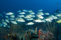 A school of Tomtate Grunts swims over a reef at a depth of fifty feet in Palm Beach County Florida.