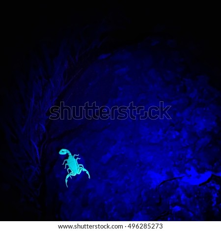 A scorpion glows brightly under the glow of a UV light, or black light while resting on a rock in the desert. #496285273