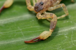 A scorpion pincer pedipalp up close. Swimming Scorpion, Chinese swimming scorpion or Ornate Bark Scorpion on a leaf in a tropical jungle