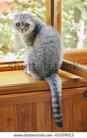 A scotch lop-eared cat sitting on a window-sill