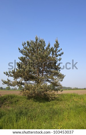 a scots pine tree pinus sylvestris with young shoots and old cones growing by an arable field under a clear blue summer sky