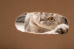 A Scottish cat, is played through a box.