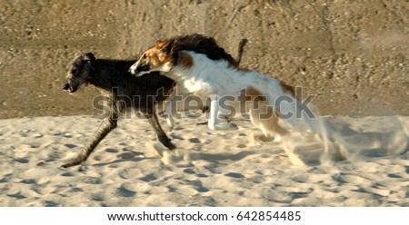 A Scottish Deerhound and a Borzoi plays at a beach, there is a lot of speed and motion blur involved.  #642854485