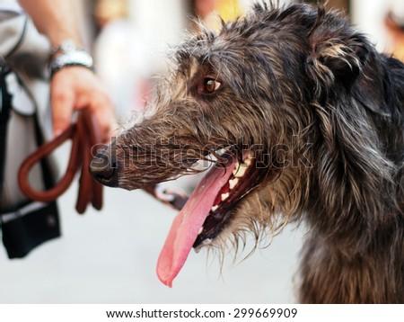 A scottish deerhound portrait #299669909