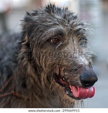 A scottish deerhound portrait #299669915