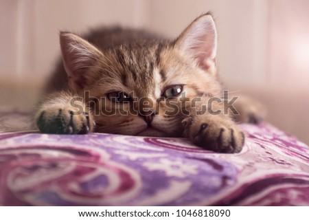 A Scottish kitten lies on a pillow. The kitten looks into the camera.
