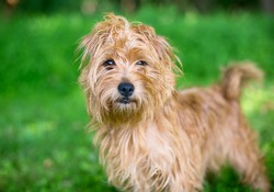 A scruffy brown Terrier mixed breed dog standing outdoors and looking at the camera