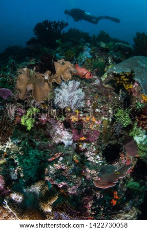 A scuba diver explores a vibrant coral reef in Komodo National Park, Indonesia. This region harbors extraordinary marine biodiversity and is a popular destination for divers and snorkelers. #1422730058