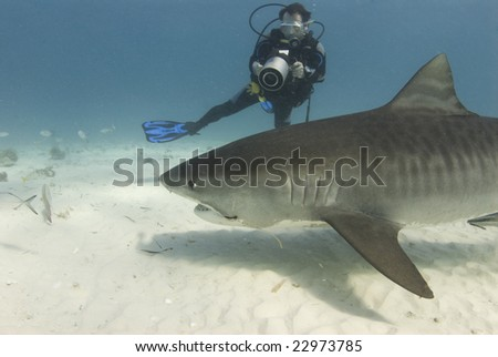 A scuba diver films a tiger shark (Galeocerdo cuvier) as she swims past while scavenging for food