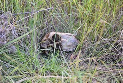 A scull of a dead animal in the long grass.