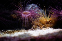 A sea anemone creature with purple and orange colors background and texture in the paris aquarium near eiffel tower