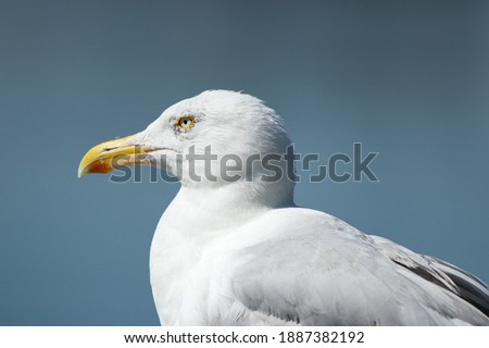 A sea gull (bird) while looking over the Ems-Jade-Kanal near Wilhelmshaven with a blue bokeh from the water on a hot summer day in August 2020 Zdjęcia stock ©