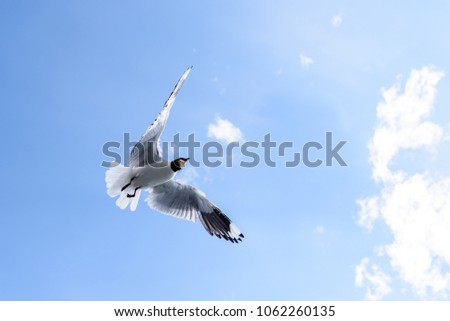 A sea gull catching a piece of bread while flying in front of a blue sky background
