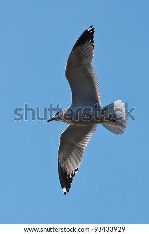 A sea gull gliding on the wind currents with wings wide spread photographed against a cloudless deep blue sky