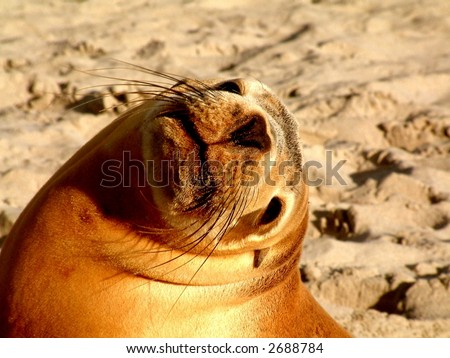 A Sea Lion looks back at the camera