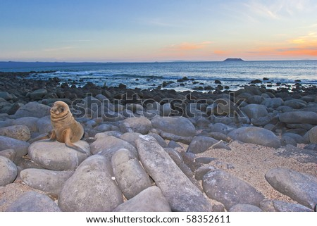 a sea lion pup looks in the camera at sunset, galapagos